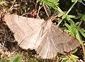 Noordwijk - Bruine heispanner (Selidosema brunnearia).jpg