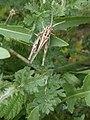 Noordwijk - Veldsprinkhaan (Gomphocerinae sp).jpg