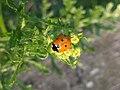 Noordwijk - Zevenstippelig lieveheersbeestje (Coccinella septempunctata) v9.jpg
