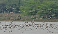 Northern Shovelers (Anas clypeata) mainly at Sultanpur I2 Picture 235.jpg
