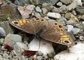Northern Wall Brown. Lasiommata petropolitana. (15575128434).jpg