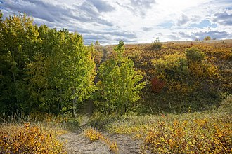 Nose Hill Park - White-tailed deer are often observed within aspen groves and coulees in Nose Hill Park.