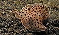 Notaspidean Sea Slug (Euselenops luniceps) (8460230531).jpg