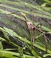 Nursery web spider (36065206656).jpg