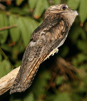 Potoo - Northern potoo