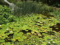 Nymphaea caerulea, stand, Manie van der Schijff BT, a.jpg