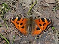 Nymphalis xanthomelas - Yellow-legged tortoiseshell (40440675164).jpg