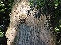 Oak, knot P7290031.jpg