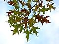 Oak (30442850464).jpg