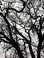 Oak near the CIA - panoramio.jpg