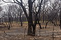 Oak trees that where severely damaged in a wildfire that occurred three weeks earlier. (24816056510).jpg