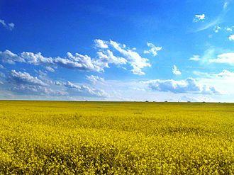 Odessa Oblast - Rapeseed field in Odessa Oblast.