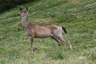 Washington (state) - Black-tailed deer graze at Deer Park in Olympic National Park
