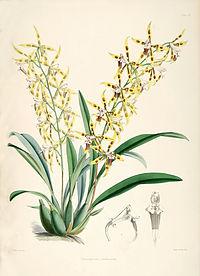 Odontoglossum lindleyanum