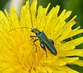 Oedemera nobilis. Male - Flickr - gailhampshire.jpg