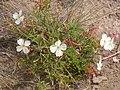 Oenothera pallida (4034072132).jpg