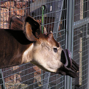 An okapi cleaning its muzzle with its tongue.