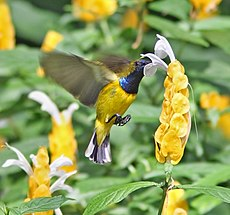Olive-backed Sunbird hovering.jpg