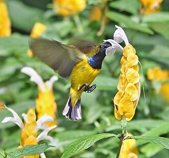 Olive-backed sunbird - Image: Olive backed Sunbird hovering