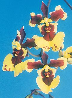 Oncidium William Thurston Yagi.jpg
