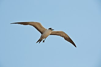 Sooty tern - O. f. nubilosus flying on Rodrigues Island in the Indian Ocean