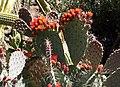 Opuntia stenopetala.jpg