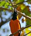 Orange-backed Troupial (Icterus croconotus) (31014962163).jpg