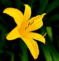 Orange Daylily -- Hemerocallis 01.jpg