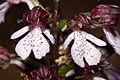 Orchis.purpurea.8277.jpg