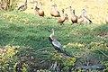Oriental darter (Anhinga melanogaster) and other Water foul SRI 20.jpg