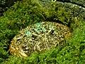 Ornate Horned Frog (25374921025).jpg