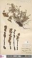 Orobanche alba herbarium (05).jpg