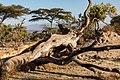 Oromia IMG 5207 Ethiopia (25762082368).jpg