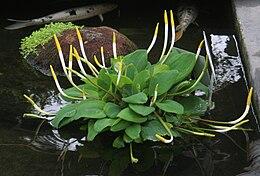Orontium aquaticum 1 - Buffalo Botanical Gardens