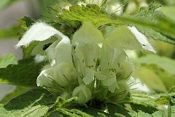fleurs de l'ortie blanche
