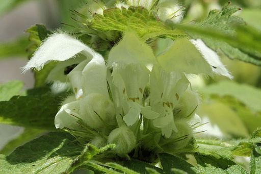 détails de la fleur de l'ortie blanche ou lamium album