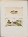 Ortix cristatus - 1700-1880 - Print - Iconographia Zoologica - Special Collections University of Amsterdam - UBA01 IZ17100235.tif