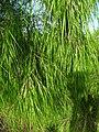 Otatea acuminata subsp. aztecoram (5341917270).jpg