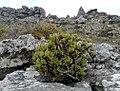 Othonna dentata - Cape Peninsula South Africa.jpg