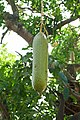 Ouidah-Kigelia africana (5).jpg