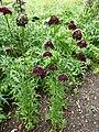 P1000253 Scabiosa atropurpurea (Sweet scabious) (Oporto) Plant.JPG