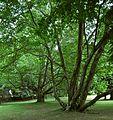 PL - Przeworsk - park w zespole pałacowym Lubimirskich - Kroton 002.jpg