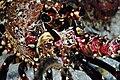 PMNM - Hawaiian Spiny Lobster (28482377732).jpg