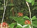 Pachliopta pandiyana - Malabar Rose from Alaram WLS during the Odonate Survey 2015 -2.jpg