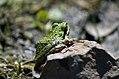 Pacific Tree Frog by Marcia Grefsrud 2811 (16760570970).jpg