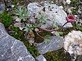 Padjelanta - Ranunculus glacialis 4.jpg