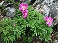 Paeonia officinalis 3.jpg