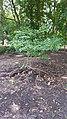 Pagoda Dogwood stump (36906963720).jpg