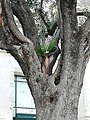 Palm Tree growing in an Olive Tree - Nice - 2018-04.jpg