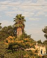 Palm Tree in Ein Karem (7689750034).jpg